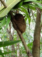 Tarsier Monkeys in Bohol